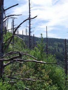 Gorge Trees