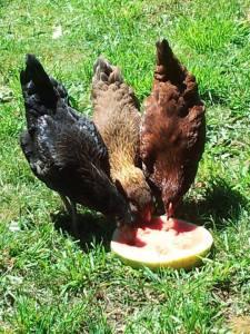 Watermelon Chicks